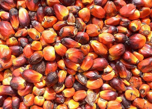 plody palmy olejné